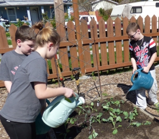 Students plant and water mixed brassica seedlings (including cabbage, broccoli, and cauliflower).