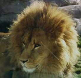 Lion. School's mascot.